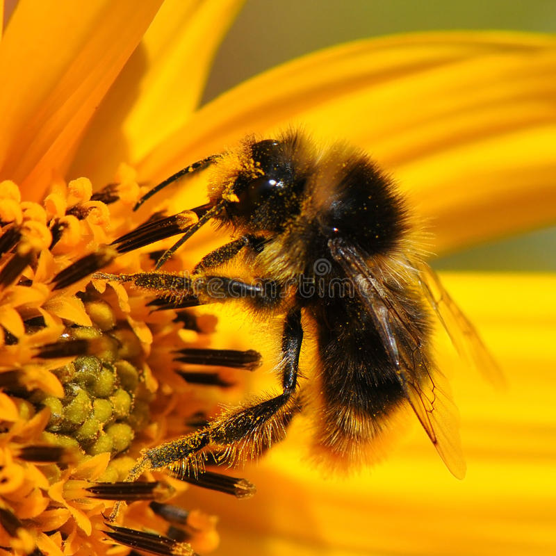 Download Macro Bee Collecting Pollen Stock Image - Image: 33221871