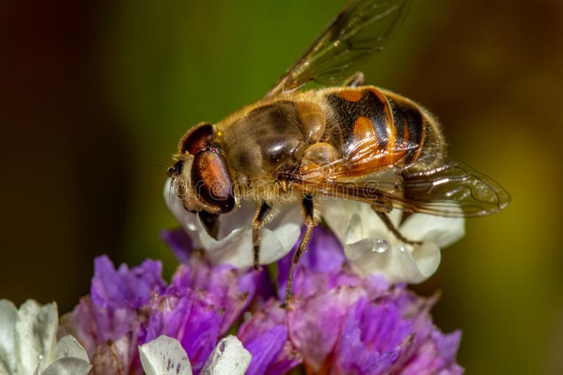 Macro of bee feeding from purple flower stock photos
