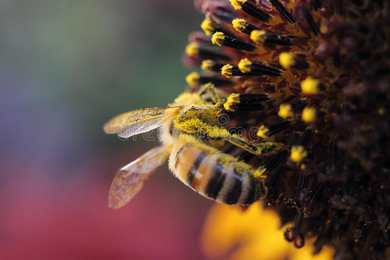 Macro of Bee on Flower royalty free stock photo