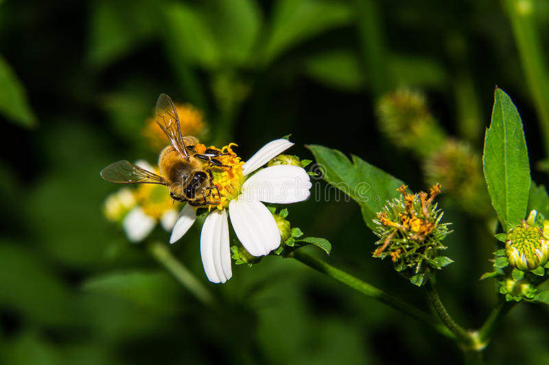 Download Macro of Bee on flower stock photo. Image of picture - 32430930