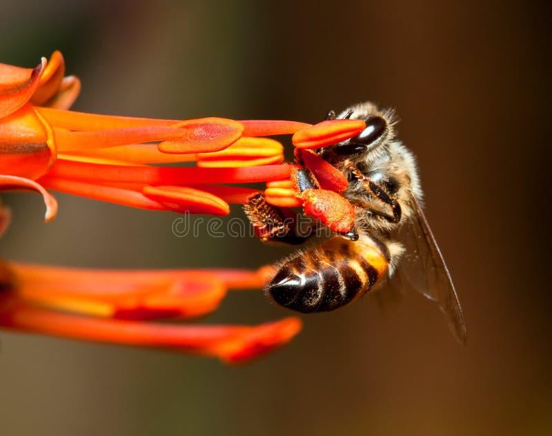 Macro of bee hanging onto a orange flower royalty free stock photo