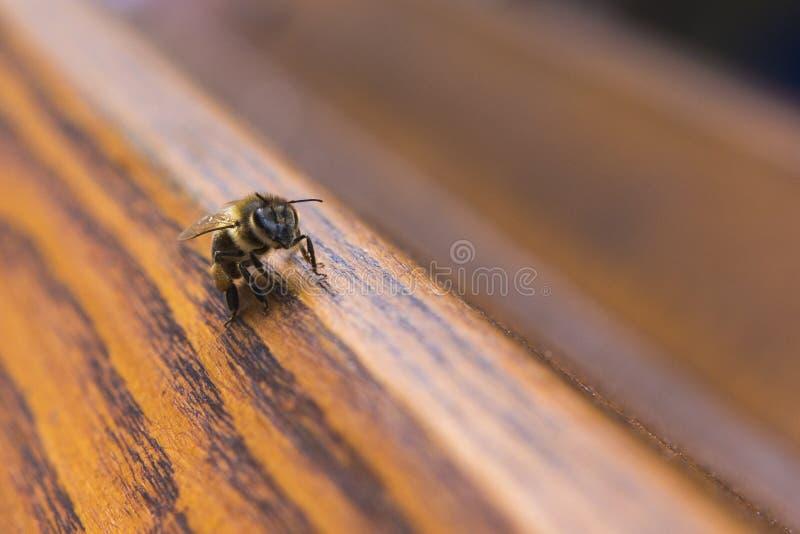 Macro of a bee seeking pollen. On a wood plank royalty free stock photo