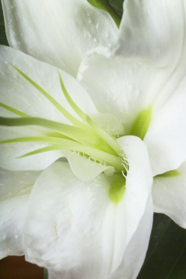 Macro beeld van a lilly stock fotografie