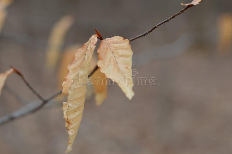 Macro bekijk de vorige herfstbladeren die tot de lente hangen stock foto's