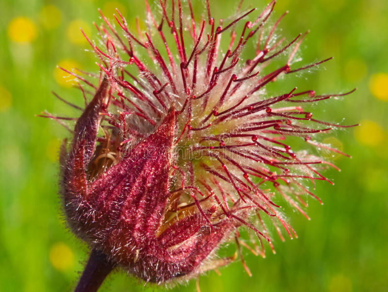 Macro bello Geum di fioritura del fiume fotografie stock