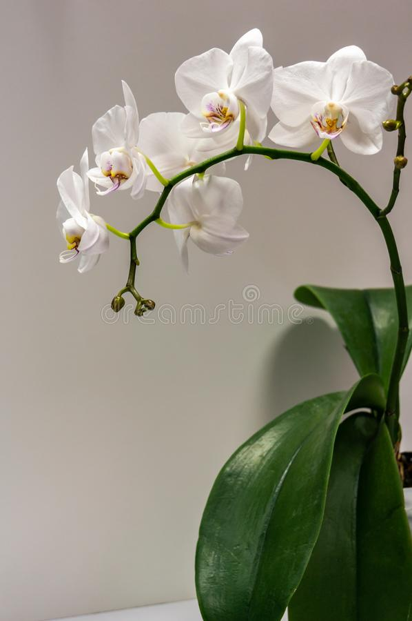 Macro of big branch white orchid flower Phalaenopsis Moth Orchid or Phal. Flower on the light grey background with green leaves. Selective focus on foreground royalty free stock photos
