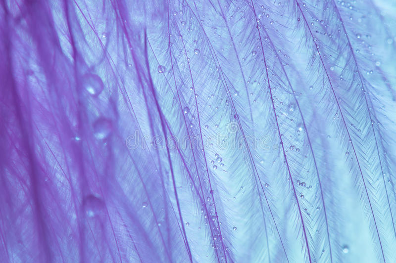 Macro bird feather purple with small drops of water. Abstract photo with drops. Macro bird feather purple with small drops of water. Abstract photo with drops stock photography