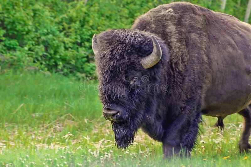 Macro Bison View fotografie stock