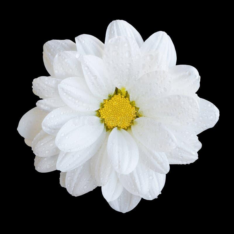 Macro blanca blanda natural de la flor del gerbera aislada imagen de archivo libre de regalías