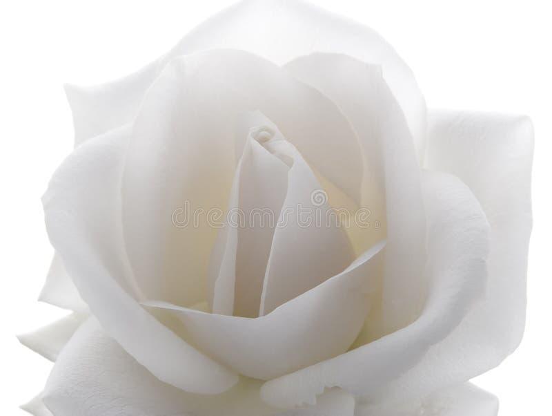 Macro blanca de Rose imágenes de archivo libres de regalías