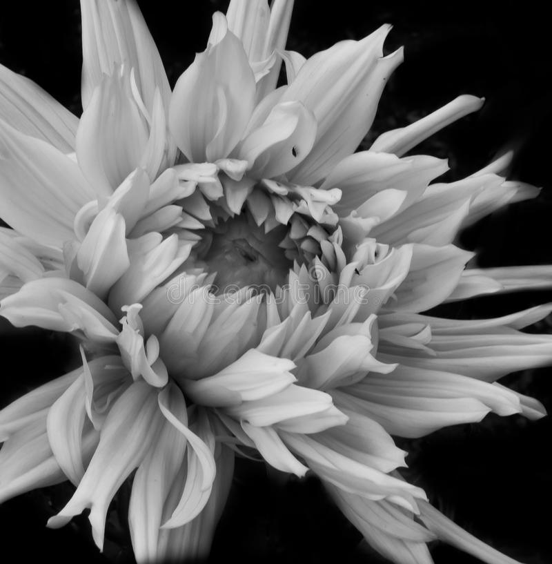 Macro blanco y negro de la dalia foto de archivo