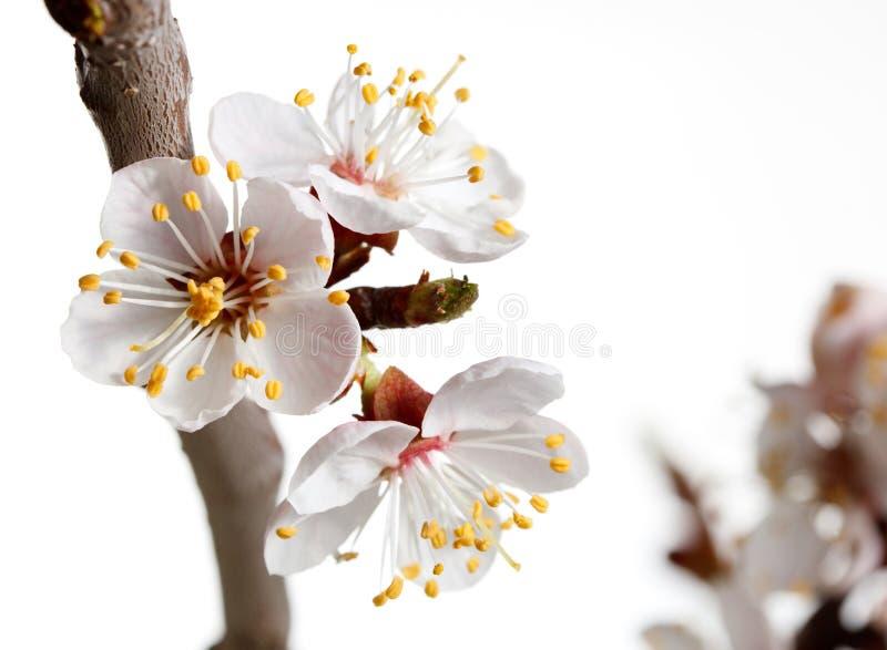 Download Macro Of Blooming Cherry Brunch Stock Image - Image: 19945905