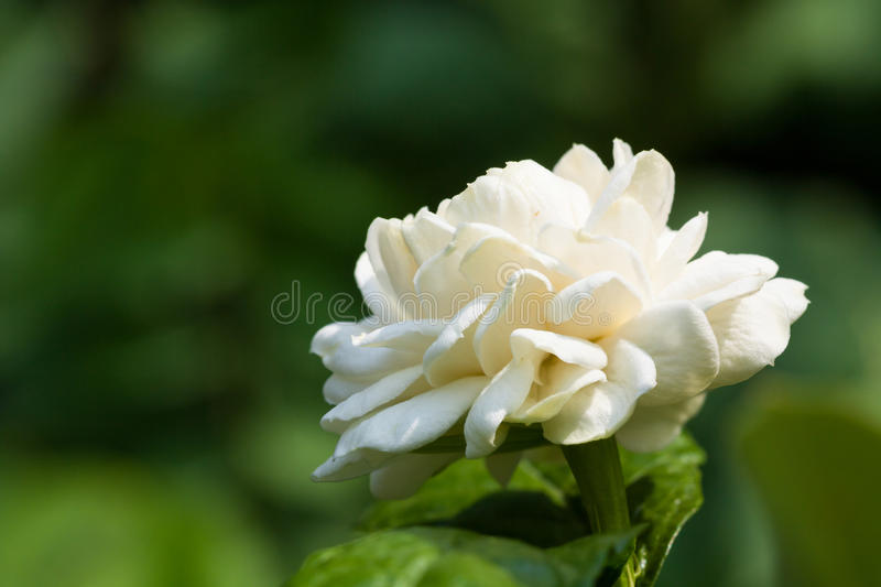 Macro blooming jasmine royalty free stock photography