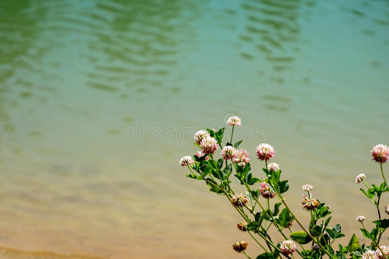 Macro blooming red clover flower or pink trefoil on emerald green water background. Nature concept for travel design. There is a place for your text royalty free stock photo
