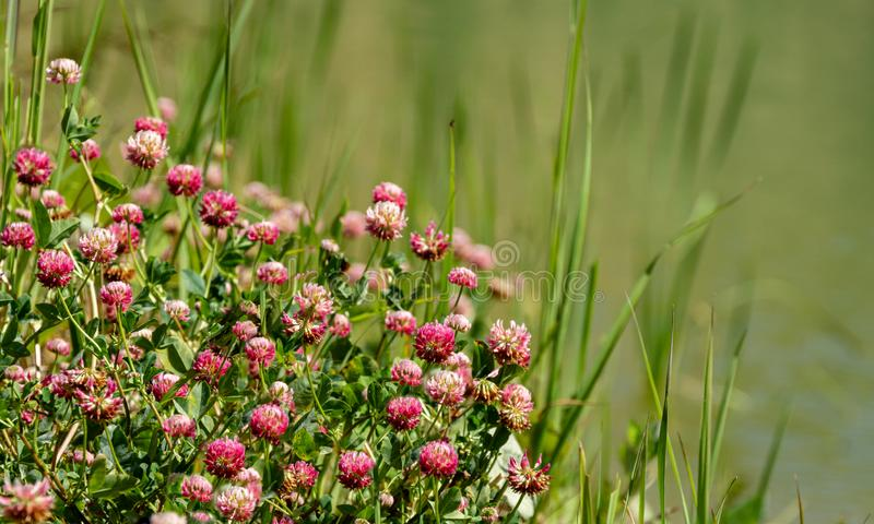 Macro blooming red clover flower or pink trefoil on emerald green water background. Nature concept for travel design. There is a place for your text royalty free stock photography