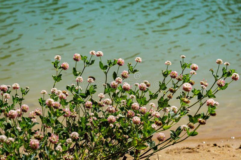 Macro blooming red clover flower or pink trefoil on emerald green water background. Nature concept for travel design. There is a place for your text stock photography