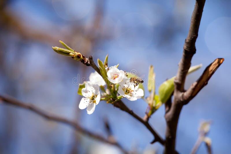 Macro blosom dell'albero della molla fotografie stock libere da diritti