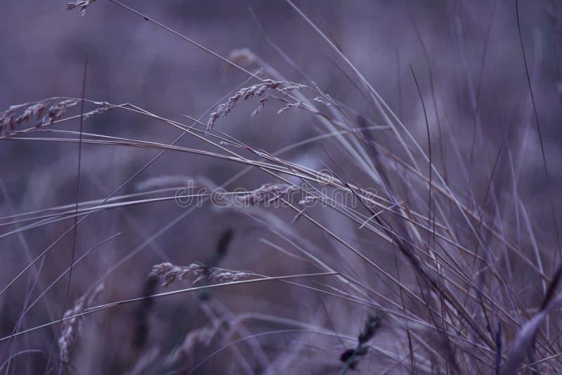Macro bonito do close-up da grama seca contra um fundo fortemente unfocused Natureza, foto da arte para o cartaz fotos de stock