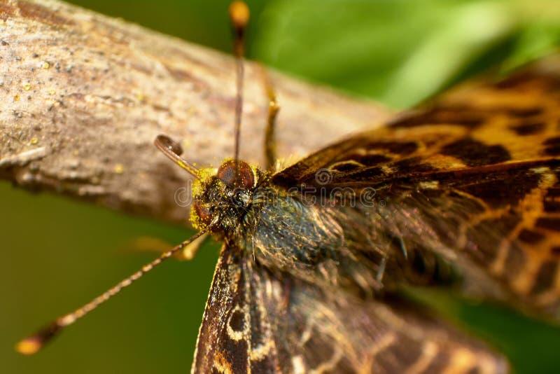 Macro borboleta de um Afrodite de Aphrodite Fritillary ou de Speyeria que stamding na vara foto de stock