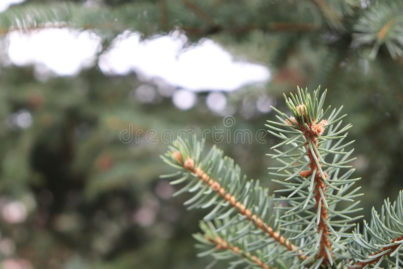 Macro bourdonnement de pin avec la lumière dans la distance image stock