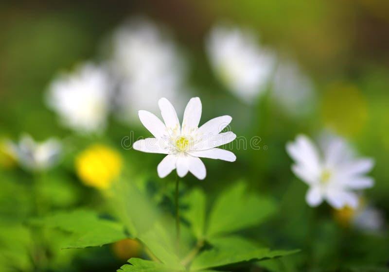 Macro branco da flor da anêmona imagem de stock royalty free