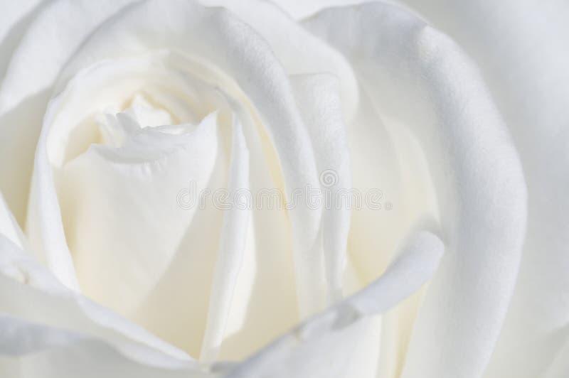 Macro branco de Rosa fotografia de stock royalty free