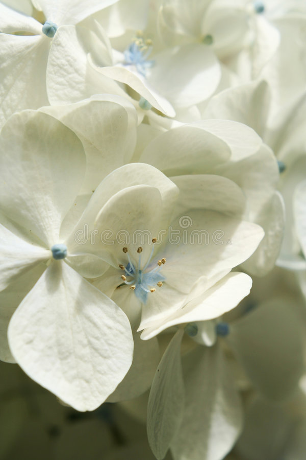 Macro branco do Hydrangea foto de stock royalty free