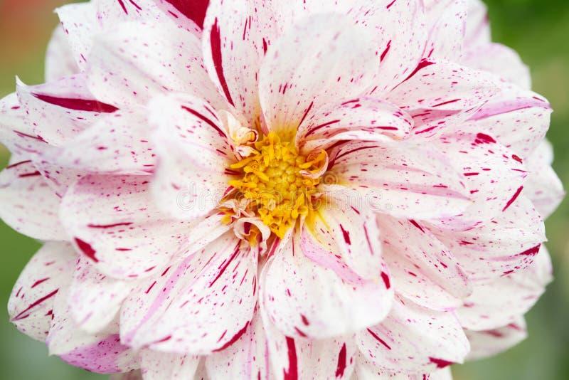 Macro branco e vermelho da flor da dália, Asteraceae fotos de stock royalty free