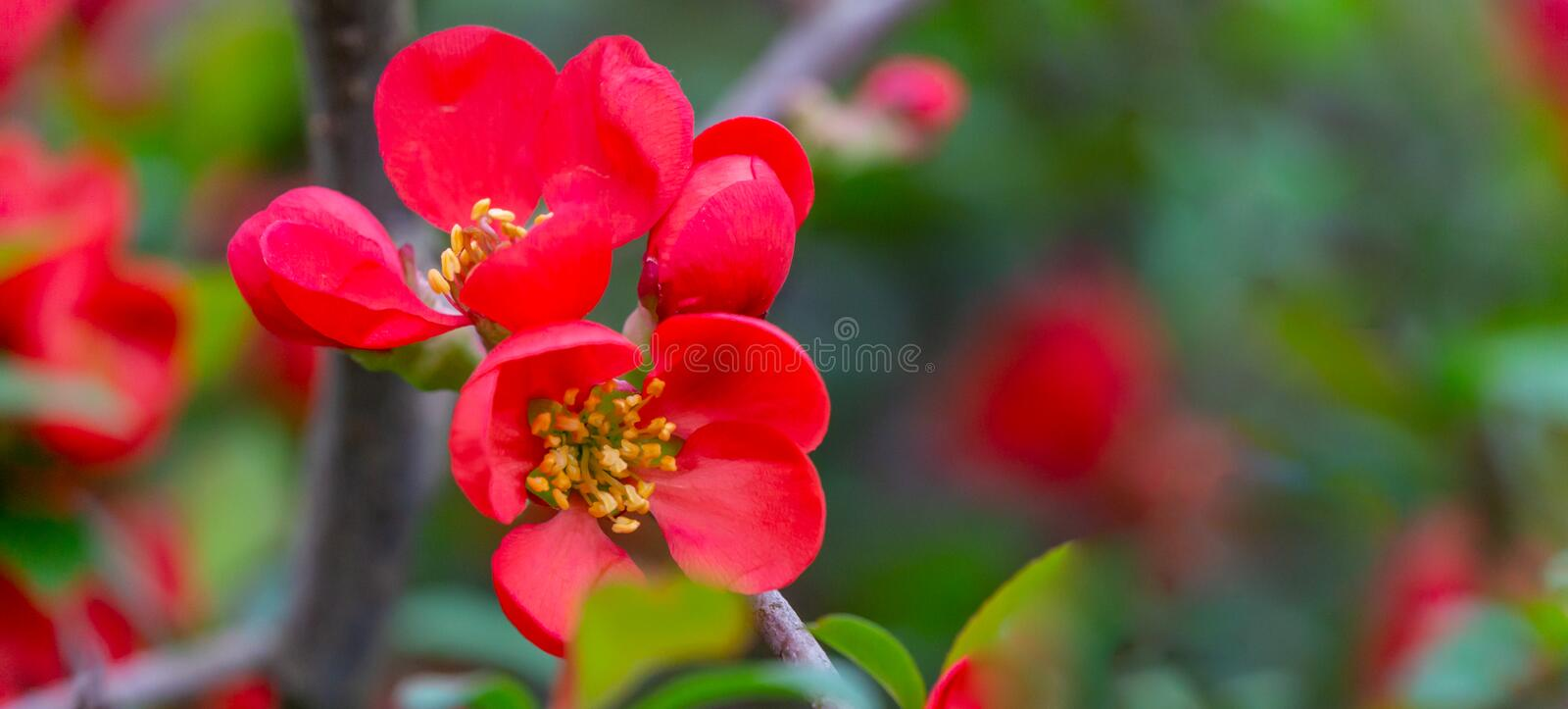 Macro of bright red spring flowering Japanese quince or Chaenomeles japonica on the blurred garden background. Sunny day. Selective focus. Interesting nature stock images