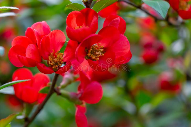 Macro of bright red spring flowering Japanese quince or Chaenomeles japonica on the blurred garden background. Sunny day. Selective focus. Interesting nature stock image