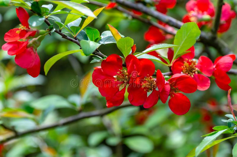 Macro of bright red spring flowering Japanese quince or Chaenomeles japonica on the blurred garden. Background. Sunny day. Selective focus. Interesting nature royalty free stock photo