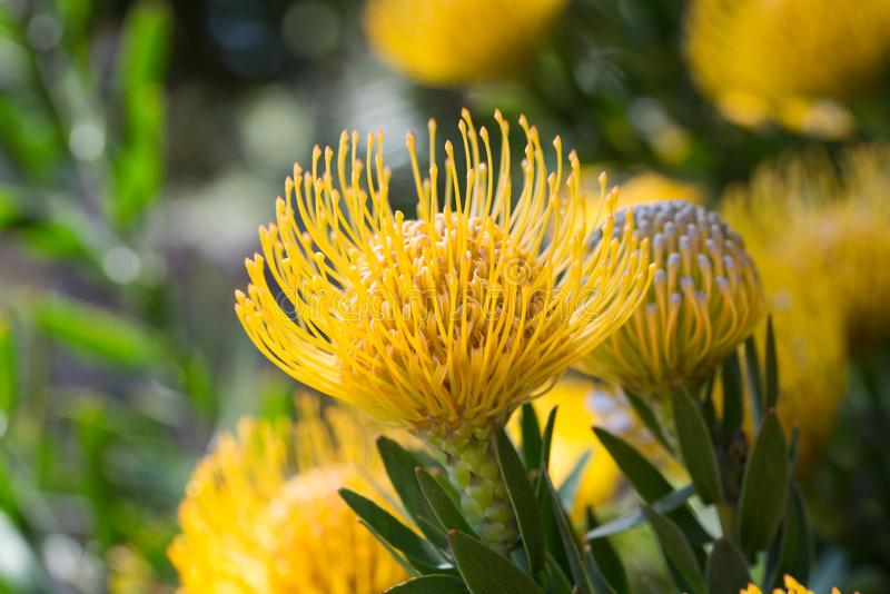 Macro of bright yellow grevillea bloom stock images