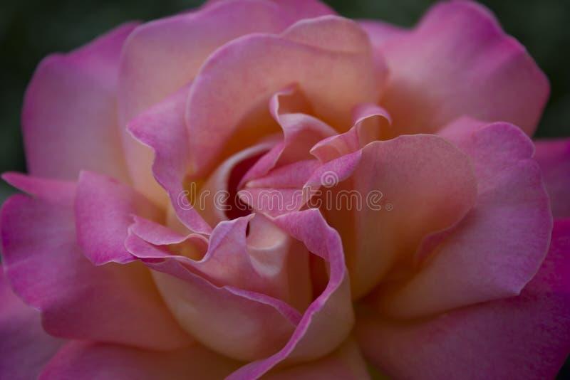 Macro brillante aislada de la rosa del color del arco iris fotografía de archivo