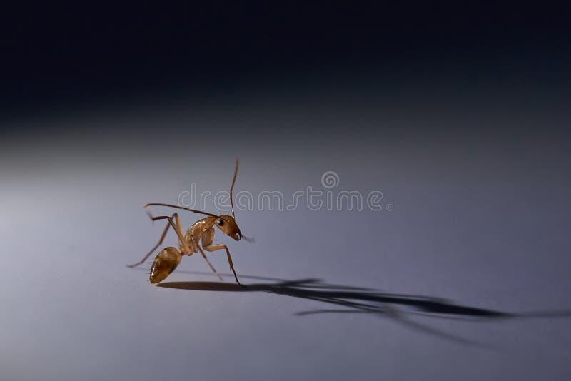 Macro of brown ant royalty free stock photo