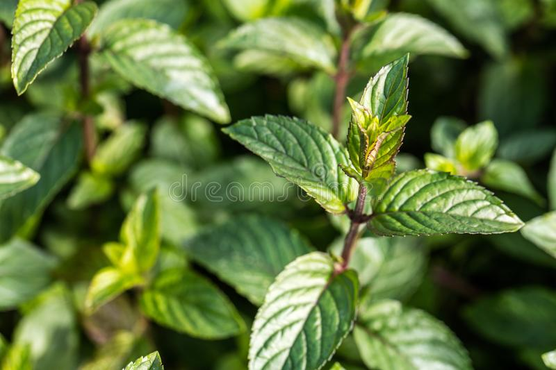 Download Macro Of Bud Mint With Leaves Background Stock Image