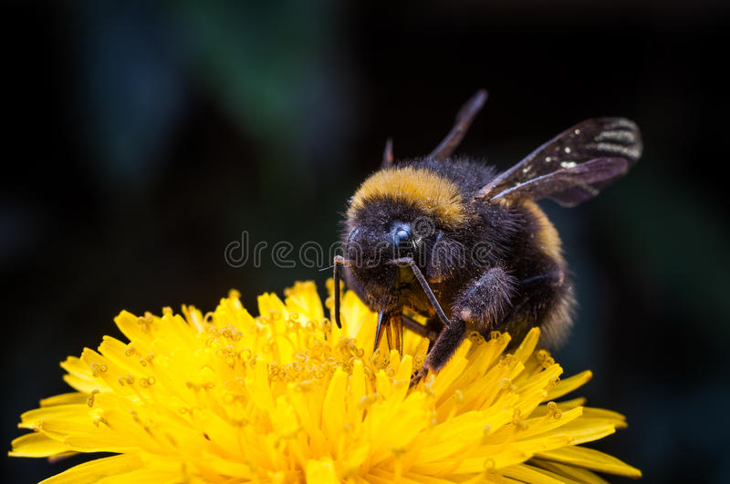 Macro of a bumblebee collecting nectar on Echinacea flower royalty free stock photos
