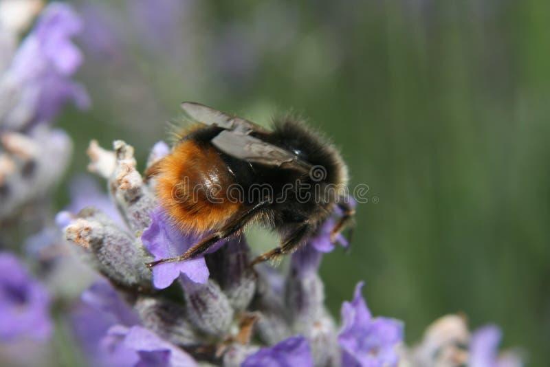 Macro bumblebee on flower stock photo