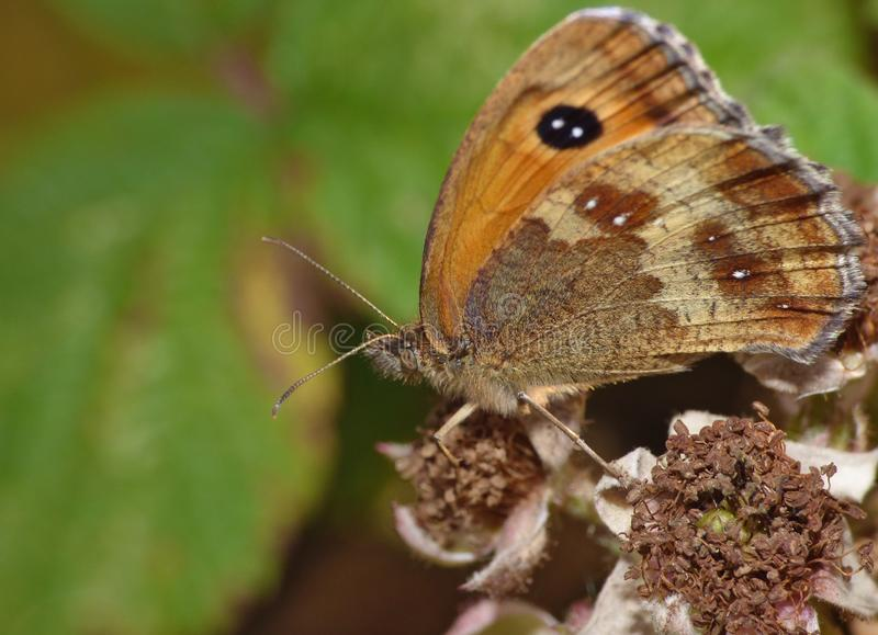 Macro of a butterfly on a blackberry bush, photo taken in the UK. Macro close up of a butterfly on a blackberry bush, photo taken in the UK royalty free stock images