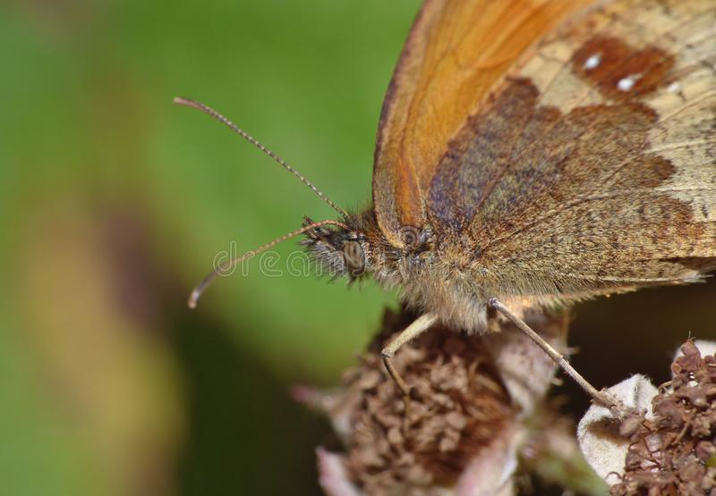 Macro butterfly on a blackberry bush, photo taken in the UK. Macro close up of a butterfly on a blackberry bush, photo taken in the UK royalty free stock images