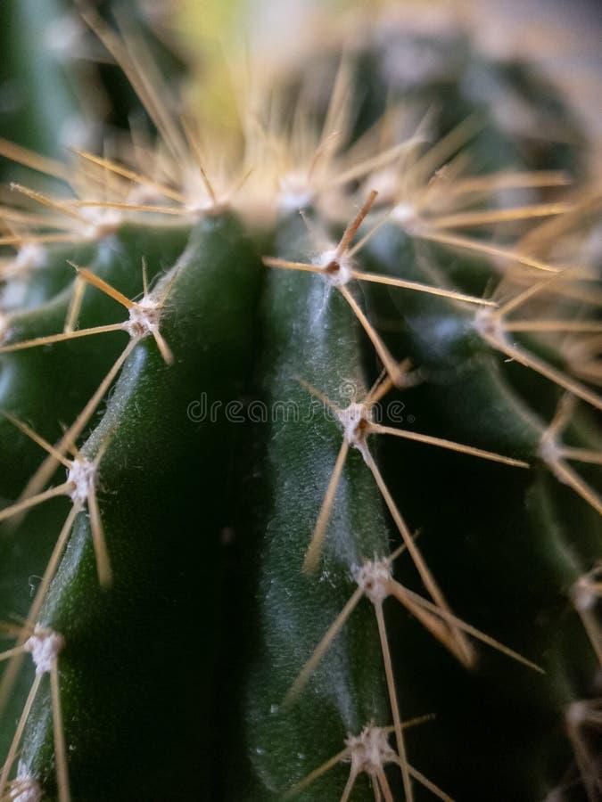Macro of a cactus royalty free stock photo