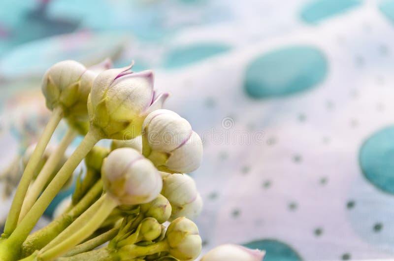 Macro calotropis milkweeds wild flower stock photography