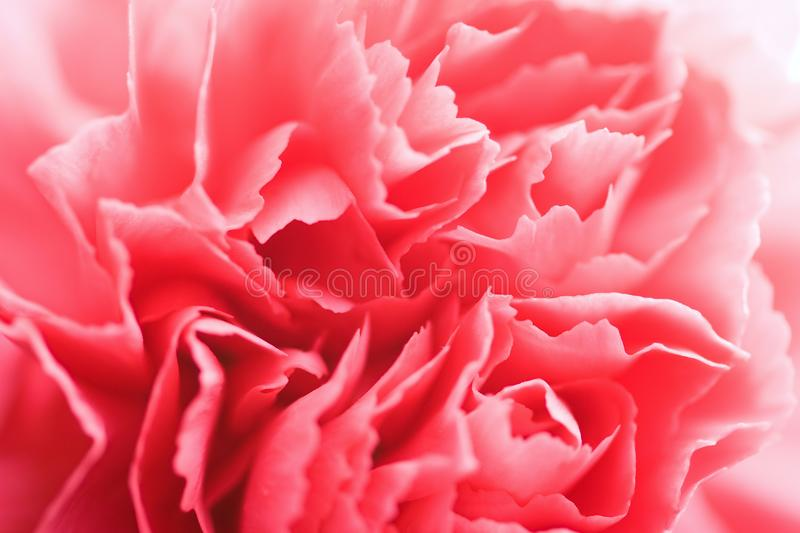 Macro of carnation flower royalty free stock photos