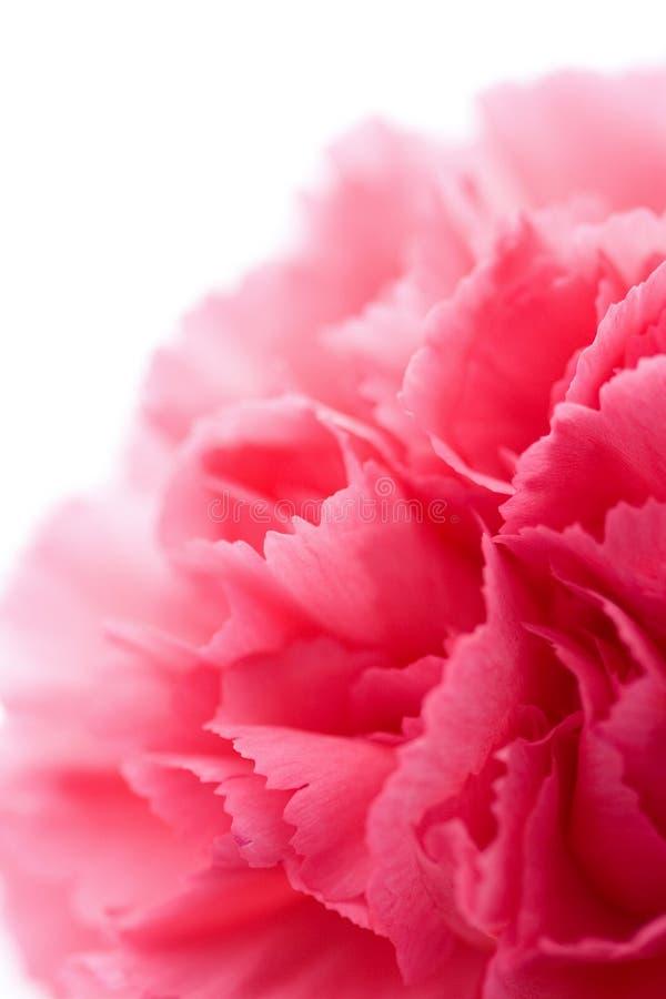 Macro of carnation flower isolated. On white royalty free stock image