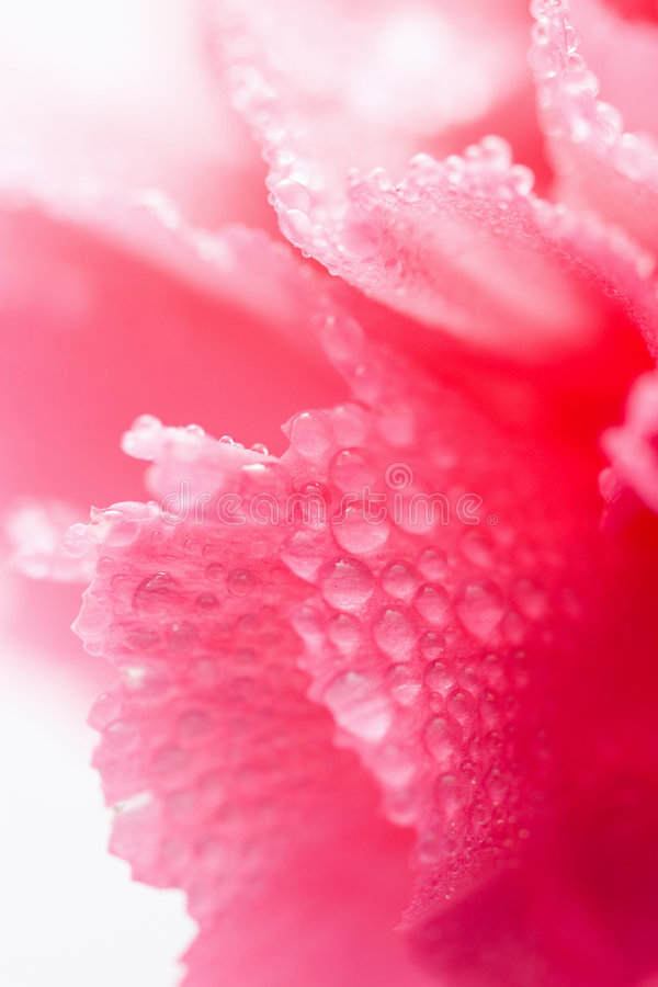 Macro of carnation flower with water droplets. Macro of pink carnation flower with water droplets royalty free stock photo