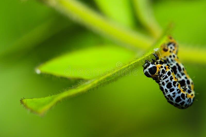 Macro caterpillar creeping stock photography