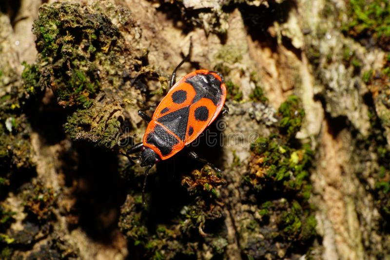Macro of Caucasian adult red bug of soldier Pyrrhocoris on tree stock image