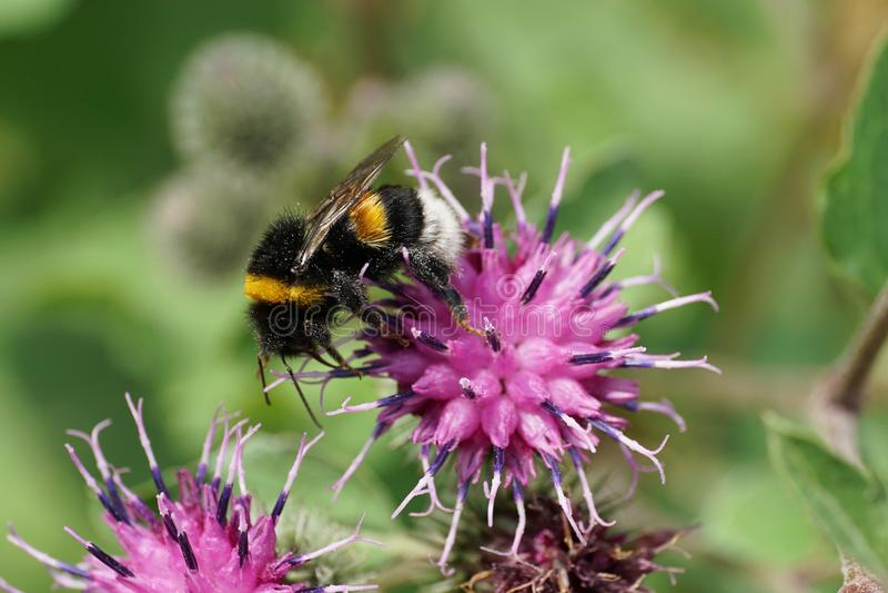 Macro view of Caucasian bumblebee Bombus lucorum on purple bloom stock images