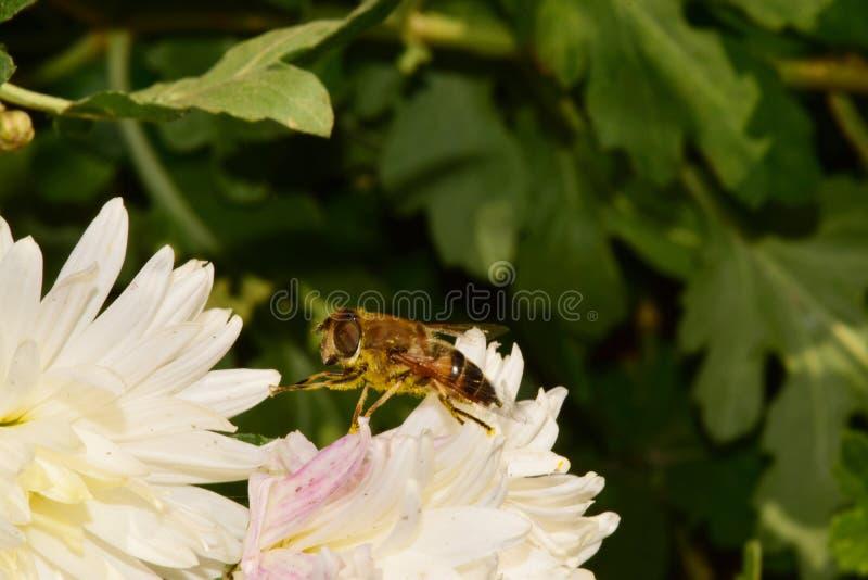 Macro Caucasian flies syrphids Eristalis on white chrysanthemum royalty free stock image