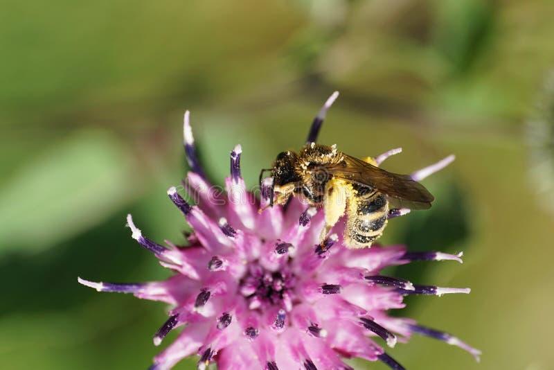 Macro of Caucasian light brown fluffy wild bee Macropis fulvipes on purple inflorescence of thistle Arctium lappa stock photography