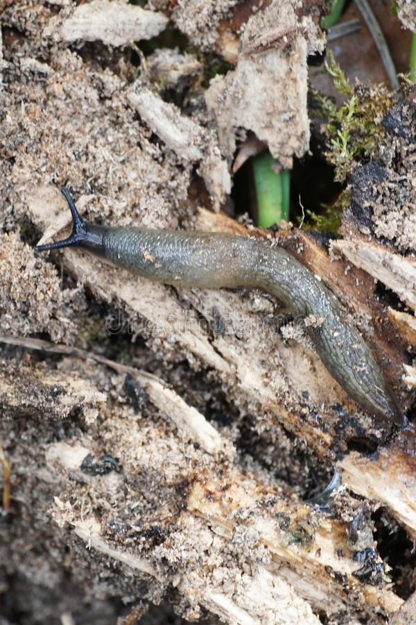 Macro of the Caucasian mollusk of the slug Arion ater crawling a. Macro of the Caucasian mollusk of the slug Arion ater with a gray body crawling among the bark royalty free stock images